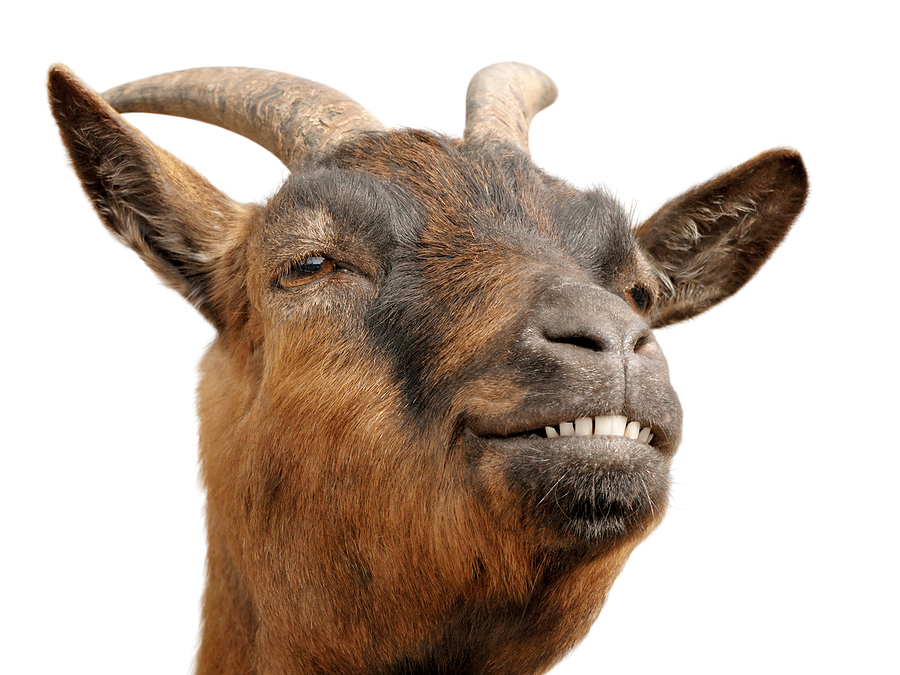 Alfa img - Showing > Brown Hairy Goat